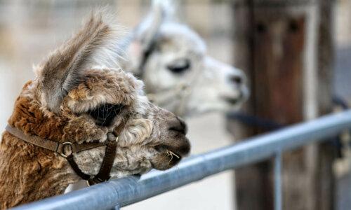Alpaca verkoop