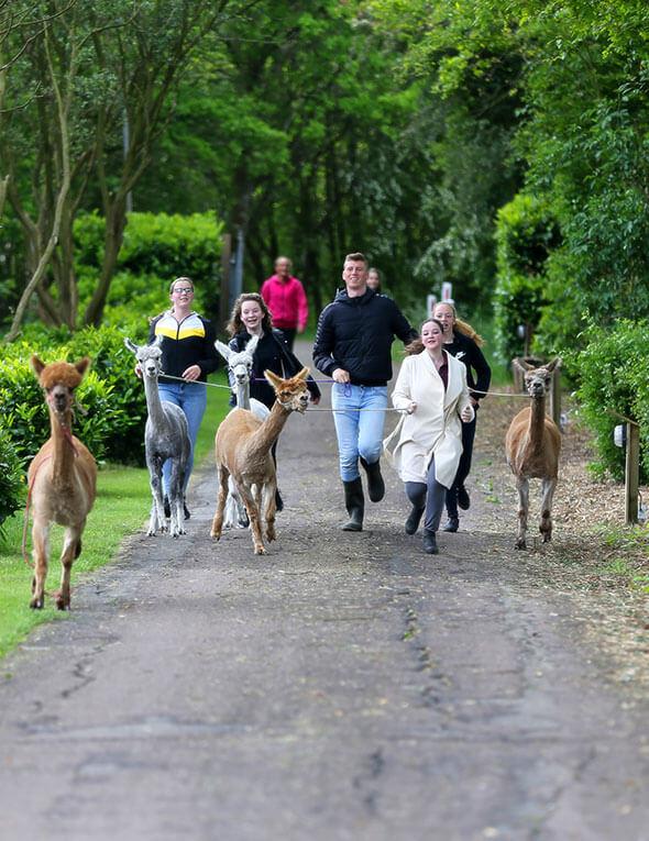 Alpacawandeling rennen met alpaca`s