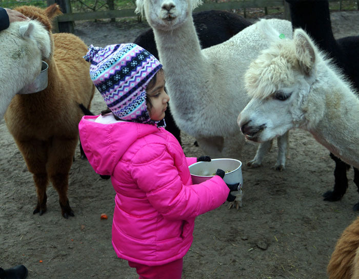 Meisje voert alpaca`s