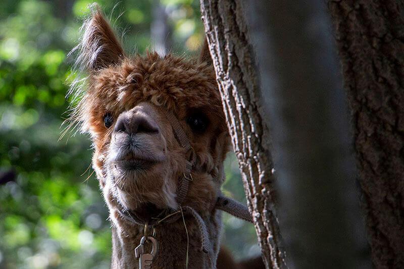 alpaca achter boom