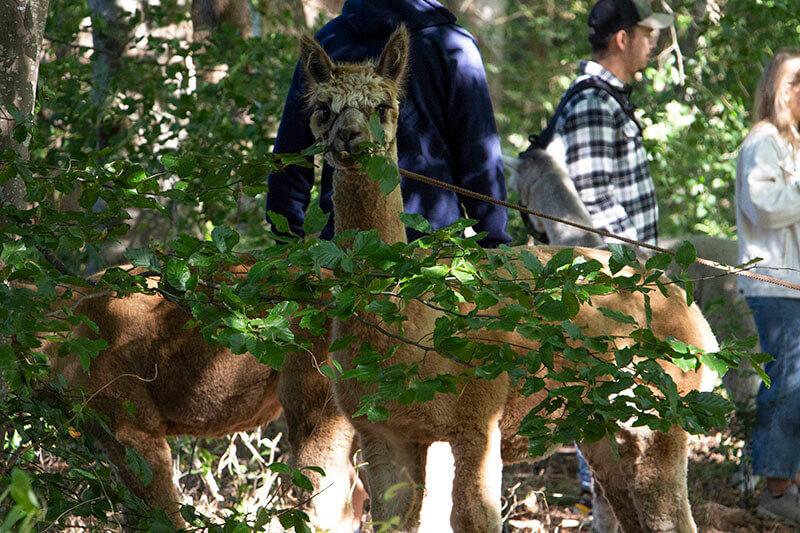 Alpaca wandeling in het bos